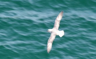 Newquay Kittiwakes Kittiwake in Flight